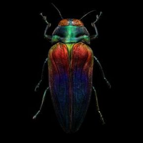 levon-biss-tricoloured-jewel-beetle-300x300