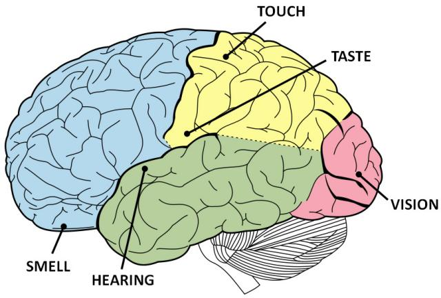 brain-senses